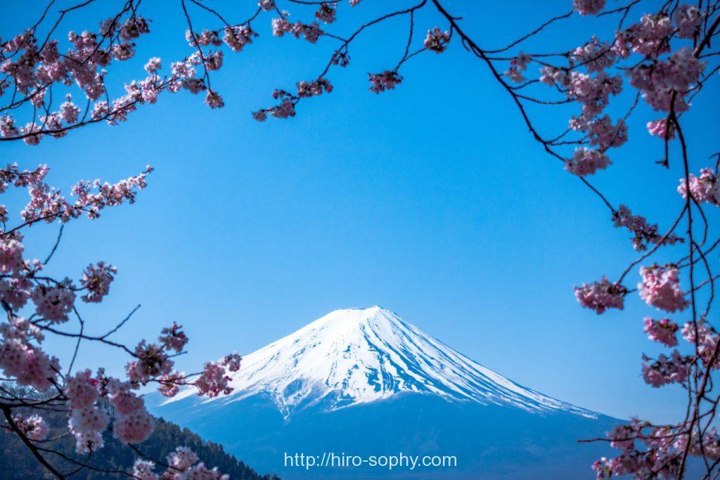 雪が積もっている富士山と桜