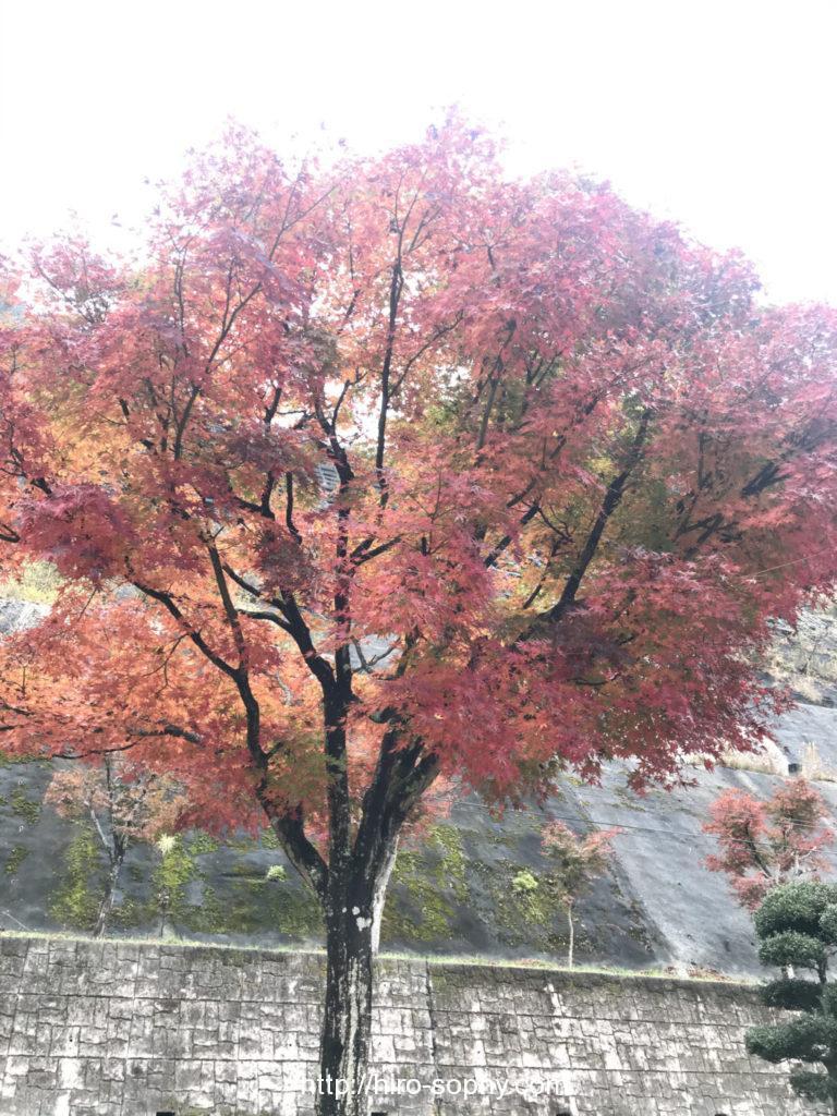 有間ダムの紅葉の樹