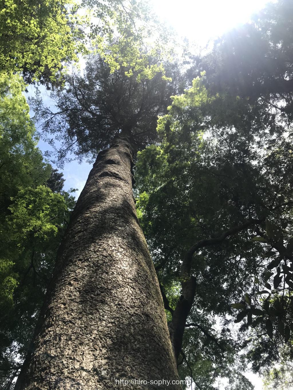高尾山に生える大木